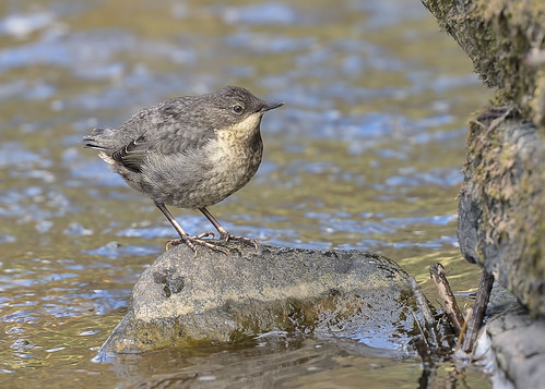 Newly fledged Dipper by Andy Pritchard - Barrowford