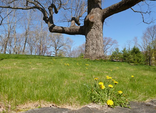 Dandelions and oak tree - April 30 / Day 120