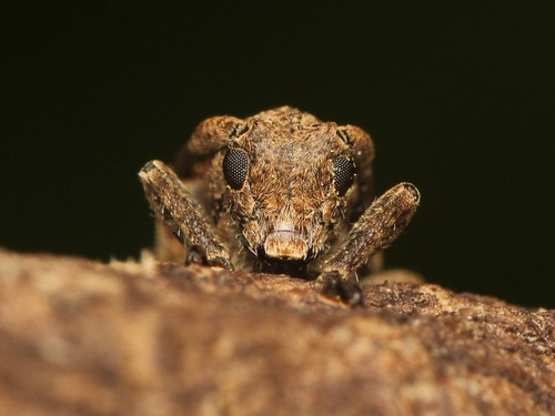Pterolophia  annulata ワモンサビカミキリ