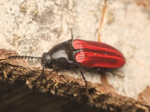 Ampedus puniseus ハネビロアカコメツキ