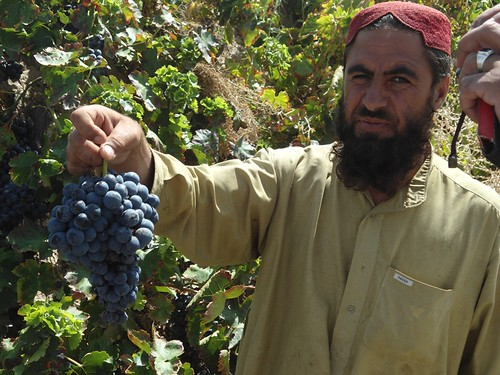 A Pakistani farmer from the Balochistan Province picks grapes. With the help of the Foreign Agricultural Service's (FAS) Food for Progress program, Winrock International partnered with the Safina Cold Store to provide an in-kind grant of modern equipment and remodel the facilities — upgrading the cold store to a modern storage facility for locally produced apples, grapes, pomegranates and dates throughout the year.  (Courtesy Photo)
