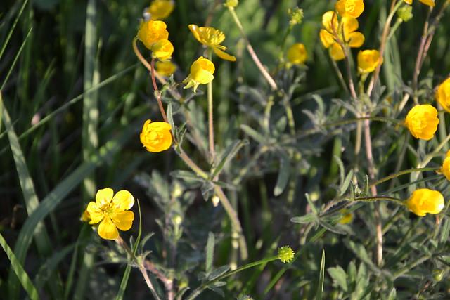 Ranunculus bulbosus - renoncule bulbeuse - Page 2 8709453826_2d677ac657_z
