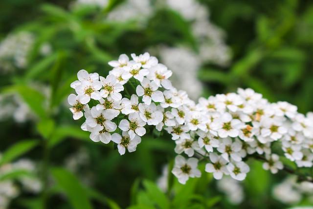 Angervon kukkia