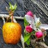 Apple Blossom #gardenproduce #apples #appleblosson #spring