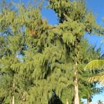 Casuarina equisetifolia trees