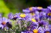 Purple Yellow Garden Blend