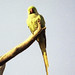 Small photo of Alexandrine Parakeet (Psittacula eupatria)