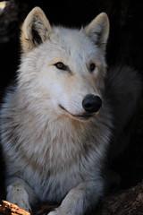 arctic fox, animal, canis lupus tundrarum, gray wolf, mammal, fauna, greenland dog, wolfdog, wildlife,