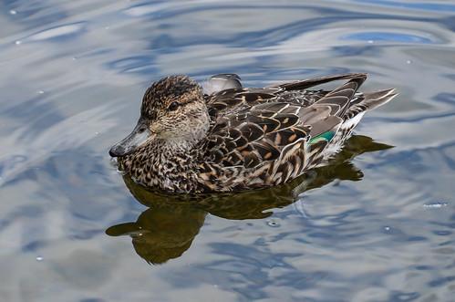 <p><i>Anas carolinensis</i>, Anatidae<br /> Burnaby Lake Park, Burnaby, British Columbia, Canada<br /> Nikon D5100, 70-300 mm f/4.5-5.6<br /> March 23, 2013</p>