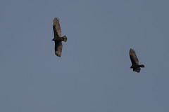 Vultures-45935.jpg by Mully410 * Images