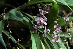 Oncidium sotoanum