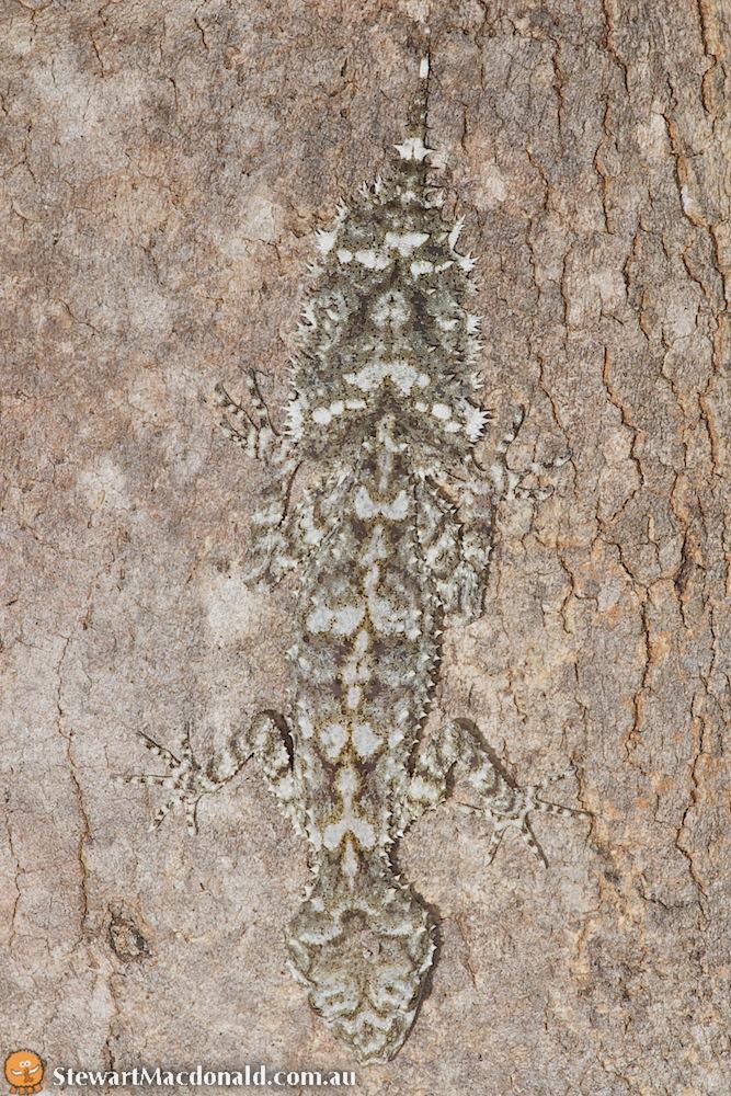 Wyberba leaf-tailed gecko (Saltuarius wyberba)
