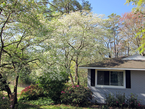 biggest, bestest Dogwood Trees ever?