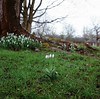 Four snowdrops in the open