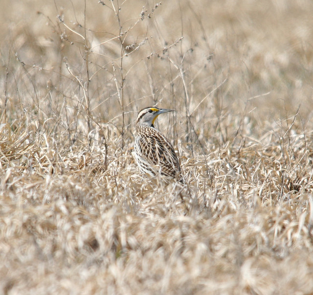 eastern meadowlark back