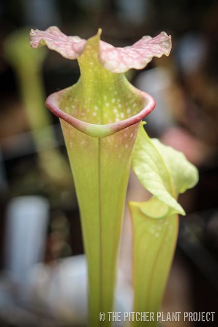 """Sarracenia leucophylla """"Burgandy"""" x flava var. maxima"""