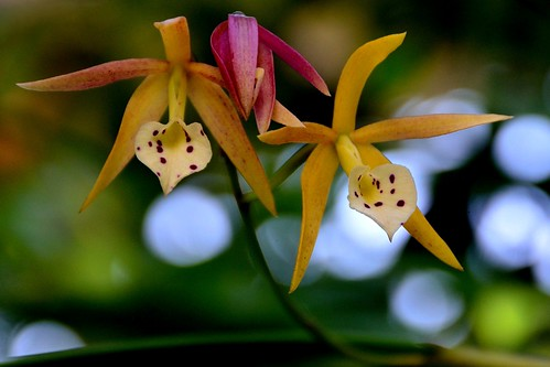 Mystery Orchid