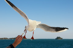 Feeding sea gulls on Kumamoto-Shimabara ferry