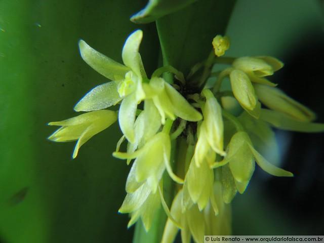 1012 - Octomeria concolor