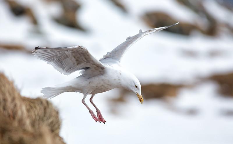 """""""Uplit"""" Herring Gull"""
