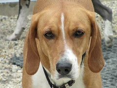 basset hound(0.0), redbone coonhound(0.0), hamiltonstã¶vare(0.0), serbian tricolour hound(0.0), coonhound(0.0), dog breed(1.0), animal(1.0), hound(1.0), segugio italiano(1.0), harrier(1.0), dog(1.0), english foxhound(1.0), american foxhound(1.0), pet(1.0), pocket beagle(1.0), basset artã©sien normand(1.0), finnish hound(1.0), estonian hound(1.0), beagle-harrier(1.0), english coonhound(1.0), drever(1.0), carnivoran(1.0), beagle(1.0),