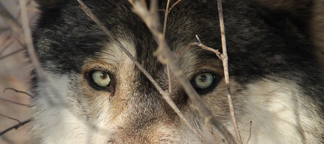 Eyes: Grey Wolf In the Woods