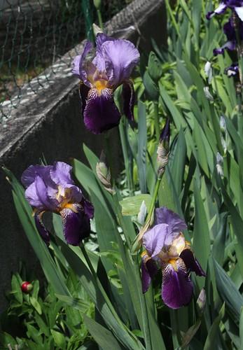 Nos Iris : floraisons 2012 - Page 2 8666585286_904508a3b4