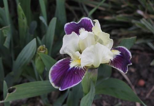 Iris nains (17)