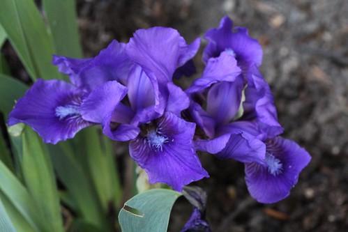 Iris - floraisons 2011 8666729380_9c057b562e