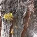 Garden Inventory: Honey Locust - 06