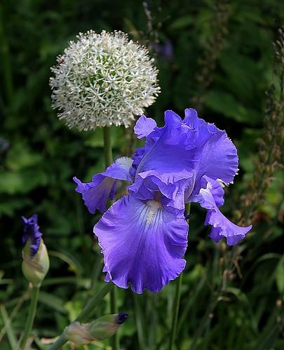 Associer nos iris à d'autres plantes pour de beaux massifs 8667783168_76786d54c0