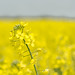 Canola in f1.8 glory by JNickrand