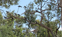 Black-Cockatoos
