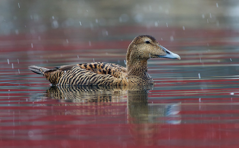 Common Eider (female) in light snowfall