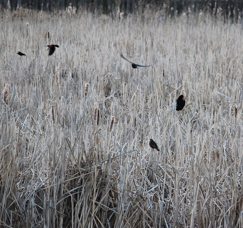 redwingblackbirds