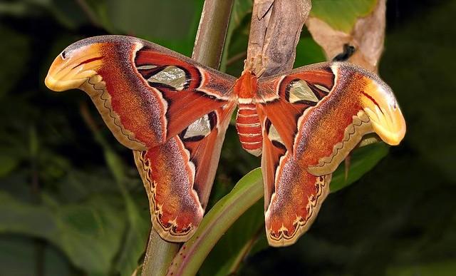Mariposa atlas - Attacus atlas