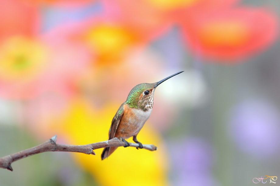 Allen's Hummingbird 042513