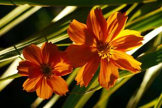 Orange Cosmos Pair