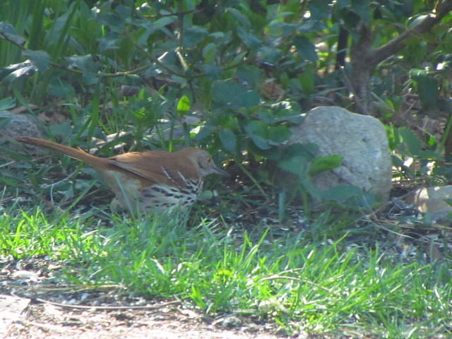 First Brown Thrasher 4:27:13