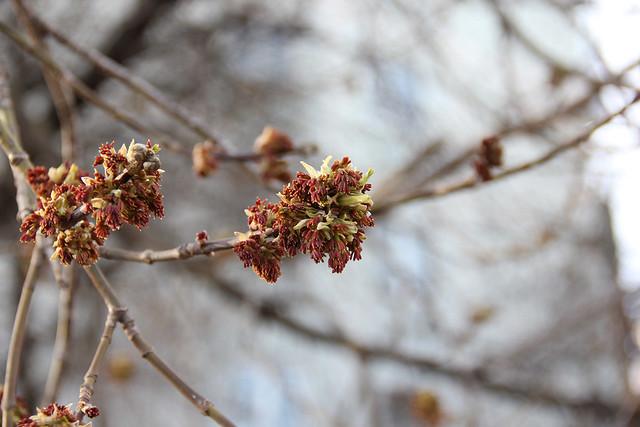 _клен_ясенелистный_цветет