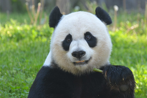 Mei Xiang Loves Her Bamboo Shoots (3 of 3)