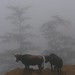 Bulls in the fog - toros en la neblina; camino entre San Pedro Ocotepec y San Lucas Camotlán, Región Mixes, Oaxaca, Mexico por Lon&Queta