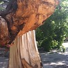 FYI this is what the guts of a gorgeous tree looks like. #tornado #winds #tree