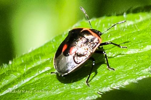 Twice-stabbed Stink Bug (Cosmopepla lintneriana)