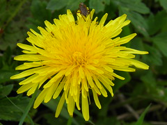 annual plant, dandelion, flower, yellow, plant, sow thistles, flatweed, macro photography, herb, flora, petal,