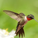 male ruby-throat with columbine _5-8-13_049