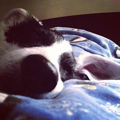 Sleepy nose. #grumblepup