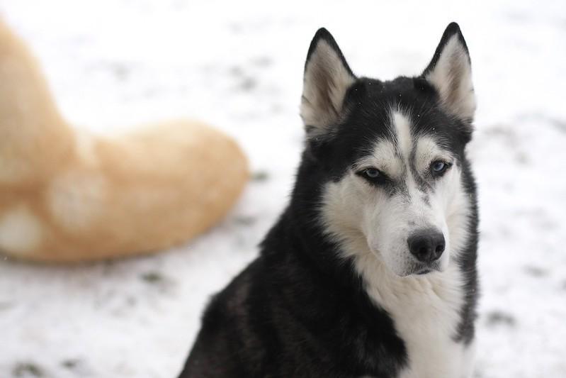 huskies in the snow
