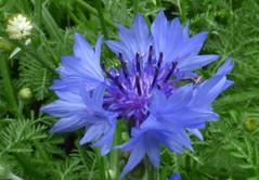 Blue flower beauty