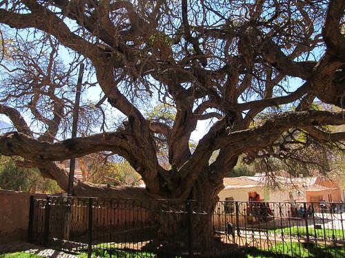 Purmamarca: l'arbre millénaire